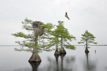 Cypress Trees In The Water With An Osprey Nest And Osprey Flying In Florida
