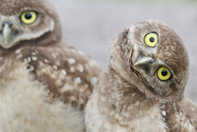 Burrowing Owl Looking Crooked Near The Burrow In Florida
