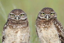 Burrowing Owls Chicks In Florida