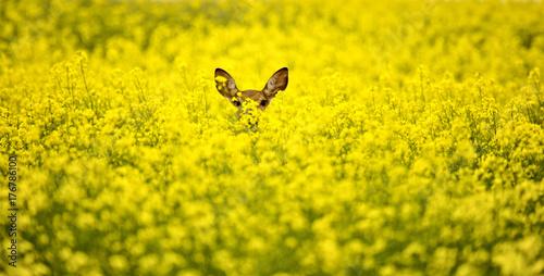 Fotografía  Deer in Canola Field