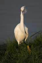 Snowy Egret In A North Califor...