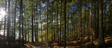 New Hampshire Wooded Pine Fore...