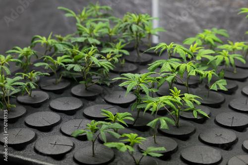 Photo Young fresh cut cannabis clones in a legal indoor recreational grow farm