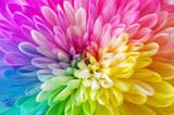Fototapeta Tęcza - レインボーの花