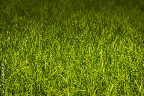 Plakat Trawa zielona trawa