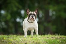 French Bulldog In Summer