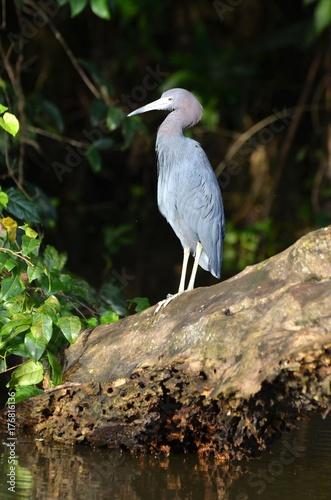 Aigrette bleue dans la jungle du Costa Rica Canvas Print