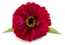 Purple Gerbera Flower Isolated On White Background