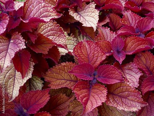 Zdjęcie XXL Coleus kolorowa roślina