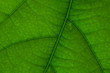 Texture of green avocado leaf in macro. Concept symbol of ECOLOGY.