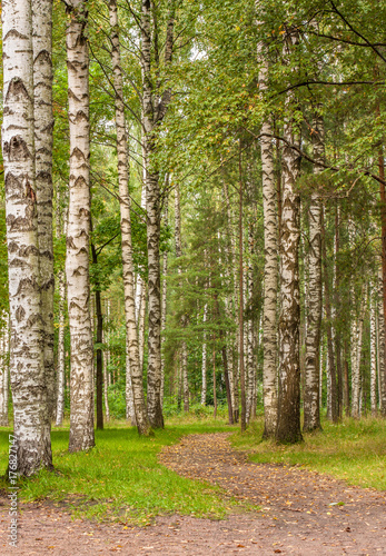 Tuinposter Berkbosje Beautiful birch grove and path