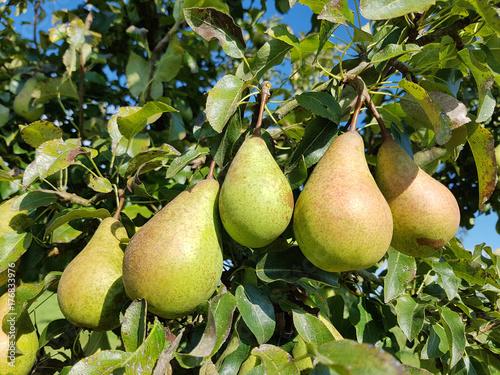 Lange, gruene, Winterbirne, Birnen, Alte Birnensorte, Pyrus communis