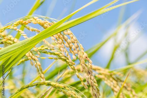 豊作の稲穂