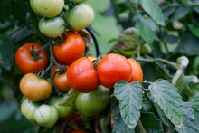 Wet Green And Red Tomatoes Gro...