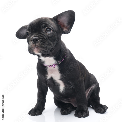 Deurstickers Franse bulldog Black Brindle French bulldog puppy siting on white background