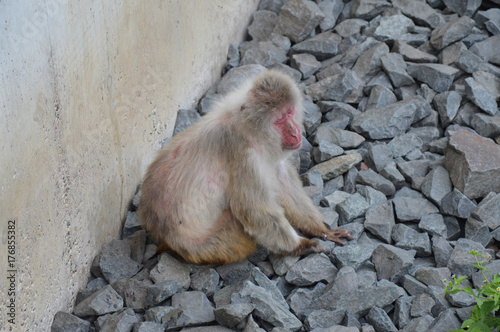 Photo  Snow Monkey in the outdoors