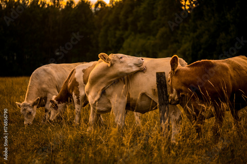 Photo  Cows in sunset licking