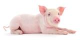 Fototapeta Zwierzęta - Pig on white