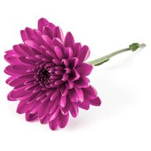 Lilac Chrysanthemum Flower Iso...