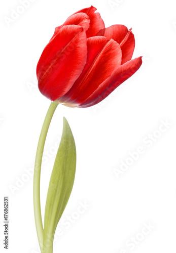 Foto op Plexiglas Tulp red tulip flower head isolated on white background