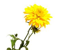 Gazania Yellow Flower Isolated...