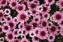 Summer Flowers Background Of Pink African Daisies