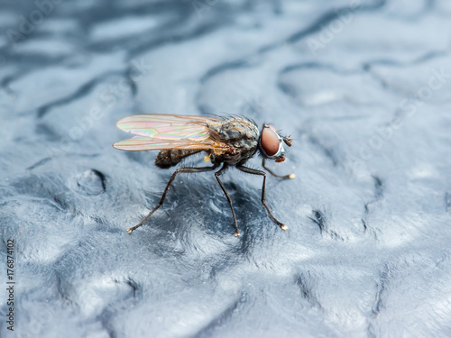 Drosophila Fly Insect