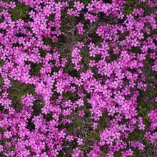 Pink Phlox Subulata Carpet