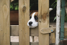 Cute Dog Looking Behing A Fence