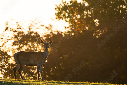Poster Cerf Female red deer in backlit morning golden light