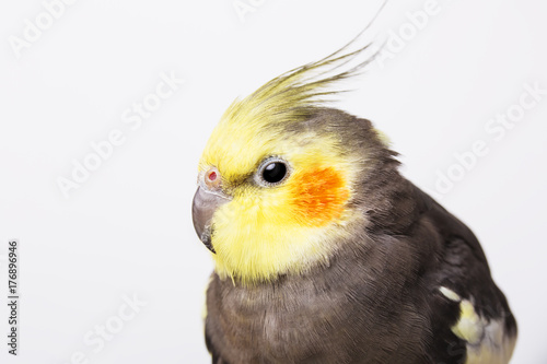 Portrait of a grey cockatiel Nymphicus hollandicus in front of white background Fototapet