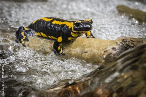 Fotografía  Salamander