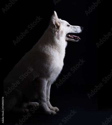 Photo  White dog