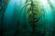 Underwater Kelp Forest In California