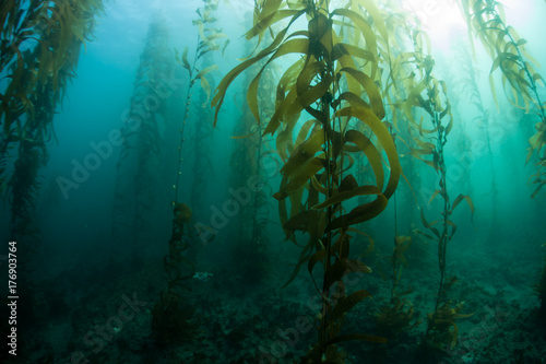 fototapeta na szkło Underwater Kelp Forest in California