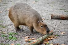 The Capybara (water Pig) (Hydrochoerus Hydrochaeris Linnaeus) Gnaws Branch Bark