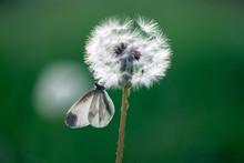 Butterfly Resting On Dandelion