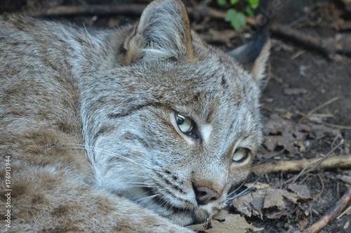 Photo  Canadian lynx