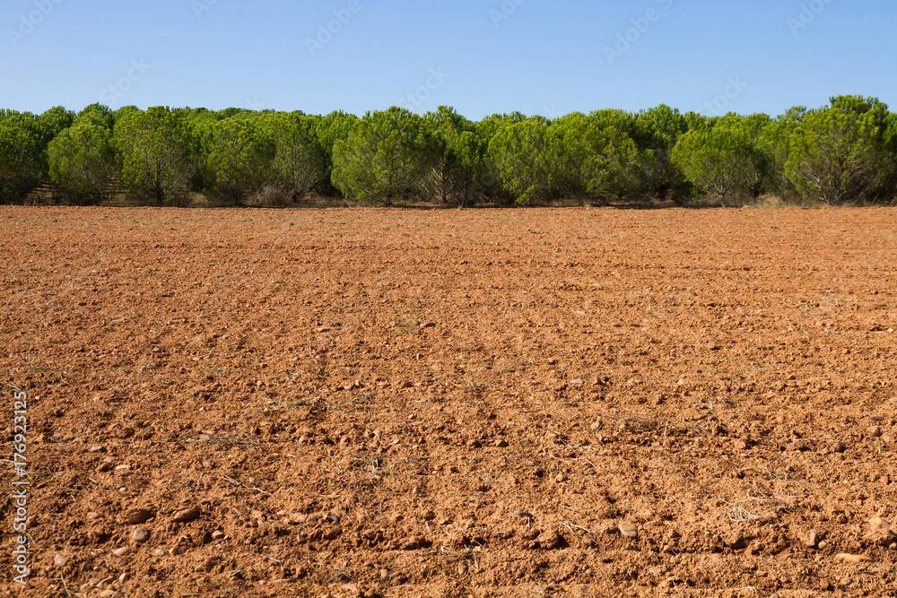 Fototapeta Terreno agricola de tierra arada con plantación de pinos