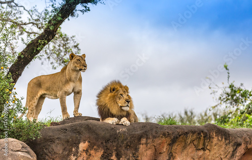 Tuinposter Leeuw male and female lion