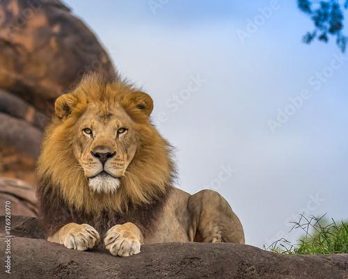 Foto op Canvas Leeuw male lion