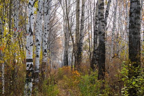 Poster Berkbosje Beautiful autumn forest