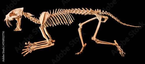 Fototapeta premium Szkielet tygrysa szablastozębnego (Hoplophoneus primaevus). Na białym tle