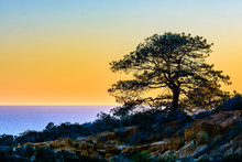 Torrey Pine Tree Against The San Diego Sunset