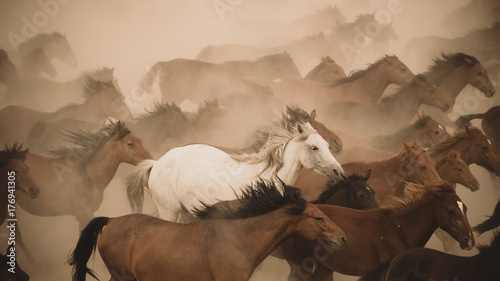 Fotografia Horses run gallop in dust