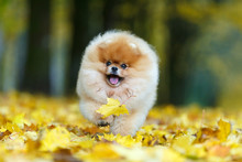Cheerful German Spitz Dog Running On Yellow Fallen Maple Leaves, Autumn, Close-up Portrait
