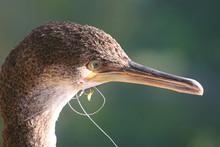 Young Cormorant With Fishing L...