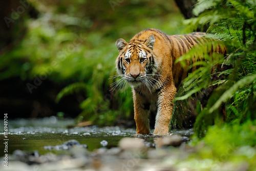Photo Amur tiger walking in river water