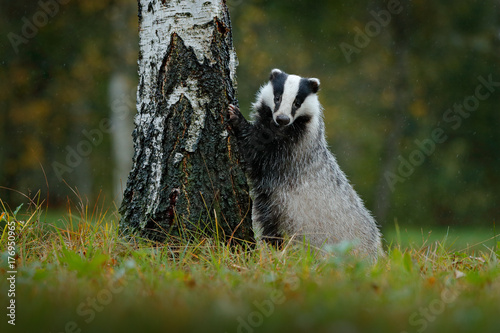 Valokuva Badger in forest, animal nature habitat, Germany
