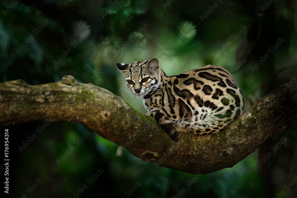 Margay, Leopardis wiedii, beautiful cat sitting on the branch in the tropical forest, Central America. Wildlife scene from tropic nature. Travelling in Costa Rica. Wild cat, ocelot from Costa Rica.